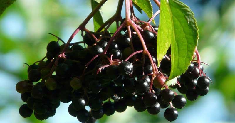 crna zova biljka