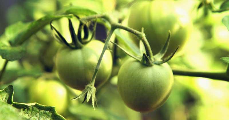 zeleni paradajz za vene prednosti