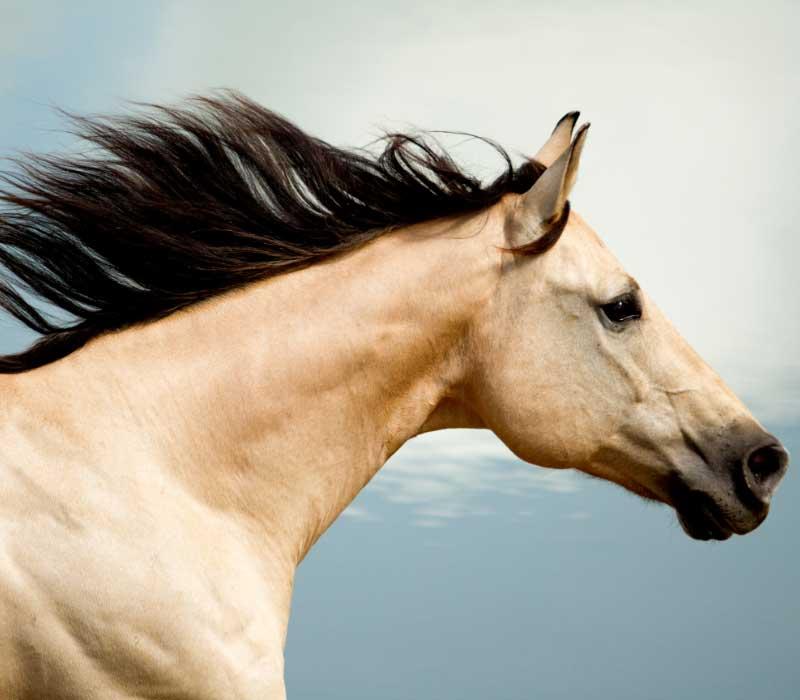 konjski šampon